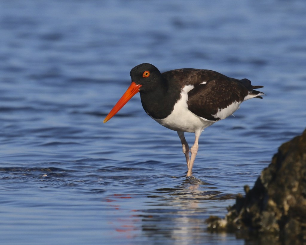 ~I love this American Oystercatcher, it has such striking colors! I have not altered the saturation of this photo at all - it has been cropped, the highlights reduced a bit, and then sharpened at the eye and bill. Bunch Beach, 5/8/15.~
