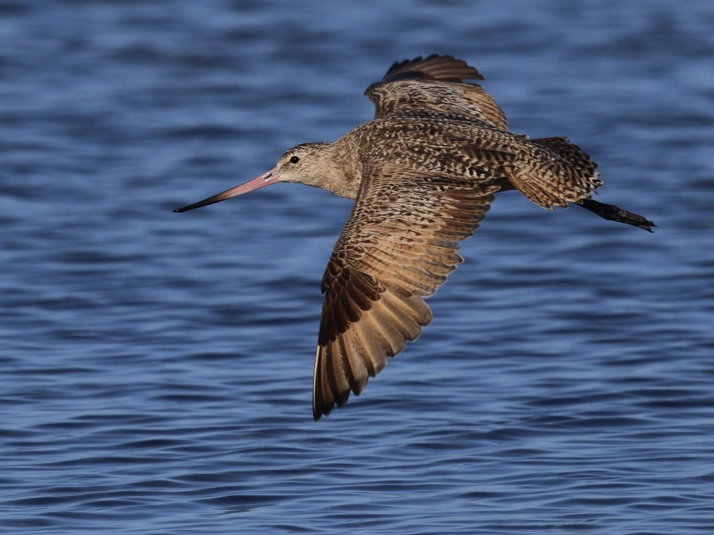~A MARBLED GODWIT takes a short flight. Bunche Beach, 5/8/25.~