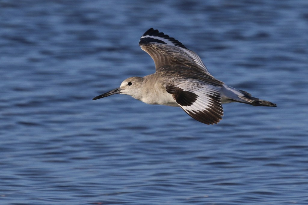~I saw many Willets in the week that we were down in Florida, so they were becoming a bit blasé for me, but I liked this flight photo. Bunch Beach, 5/8/15.~