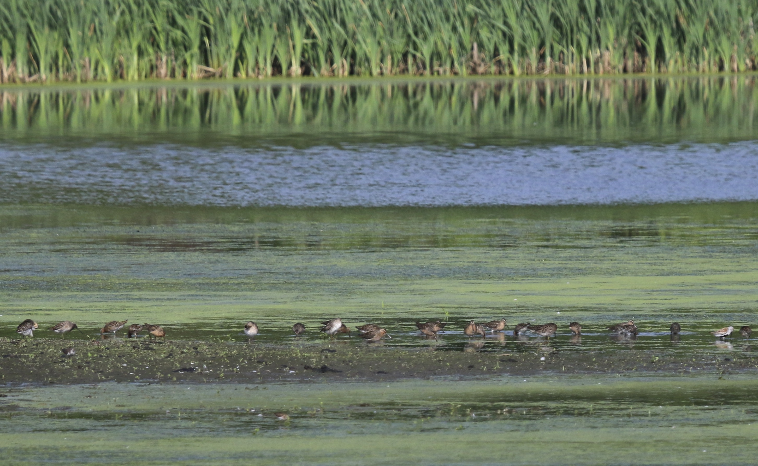 ~One Dunlin (second bird in from the right) and twenty-five of the fifty-five Short-billed Dowitchers today at 6 1/2 Station Road Sanctuary, 5/19/15.~