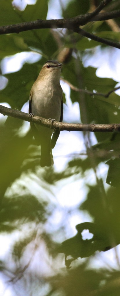 This photo was actually taken on Tuesday at Sterling Forest State Park where I walked the Sterling Lake Loop. It's a nice long walk and pretty birdy too - I had 41 species in a 2 1/2 hour walk. Red-eyed Vireo, 5/26/15.