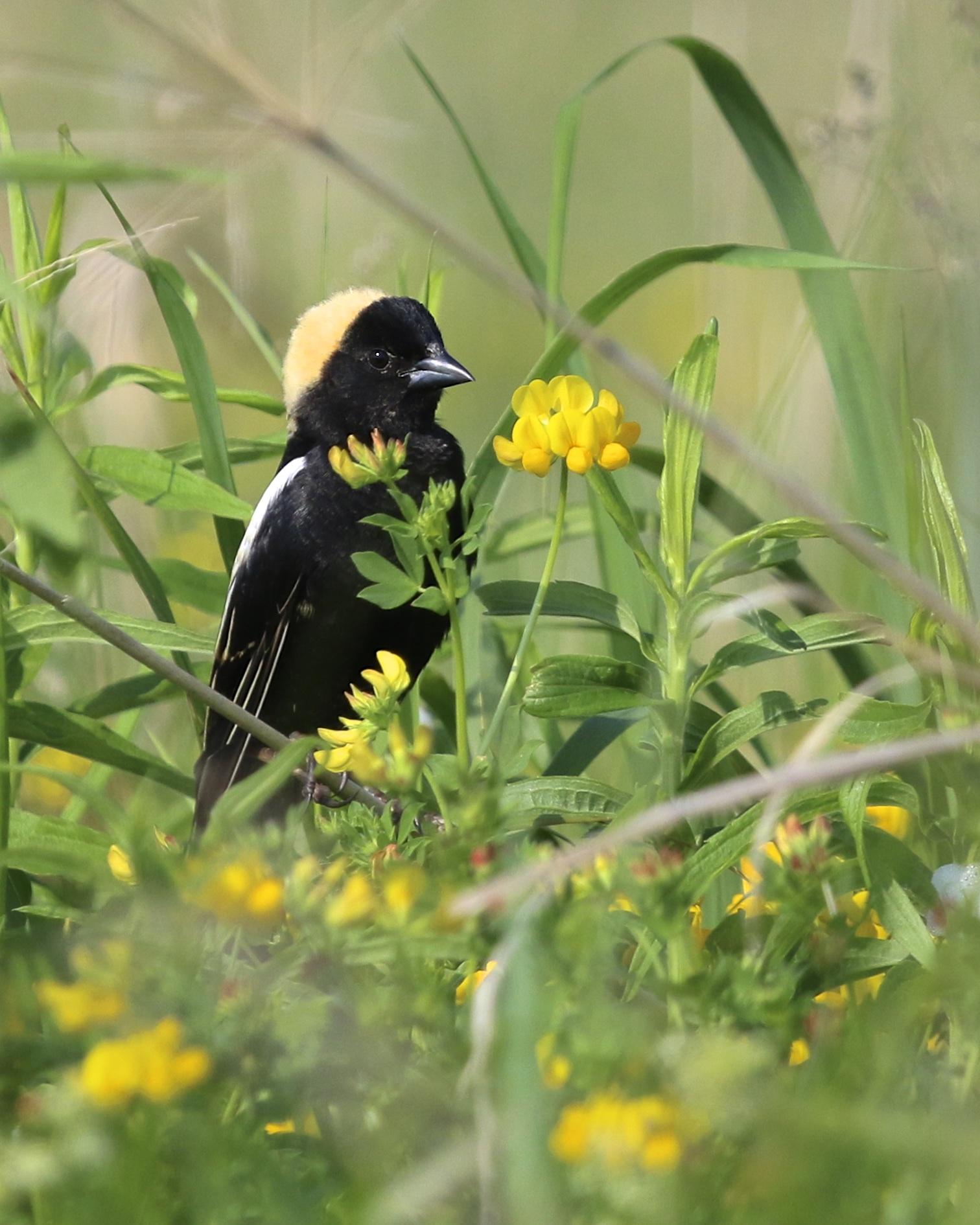 ~Bobolink at the Grasslands, 5/30/15.~