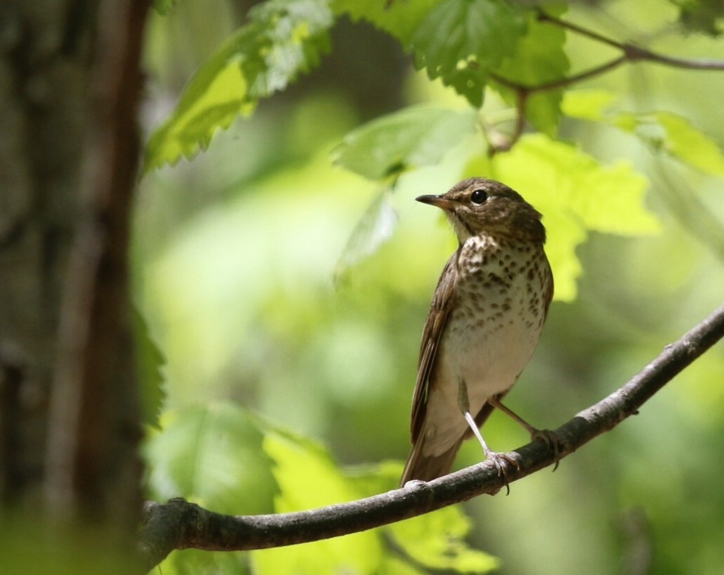 Here is a nice look at the Swainson's Thrush at Pochuck Mountain SF, 5/9/15.