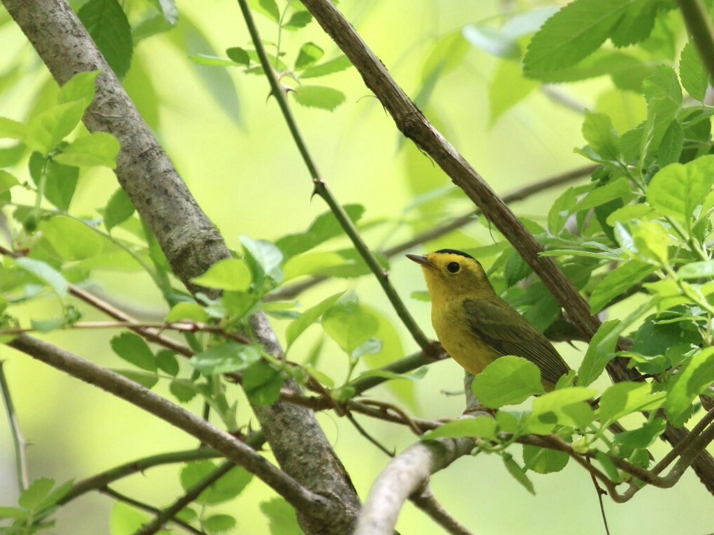 Wilson's Warbler at Pochuck Mountain, 5/9/15.