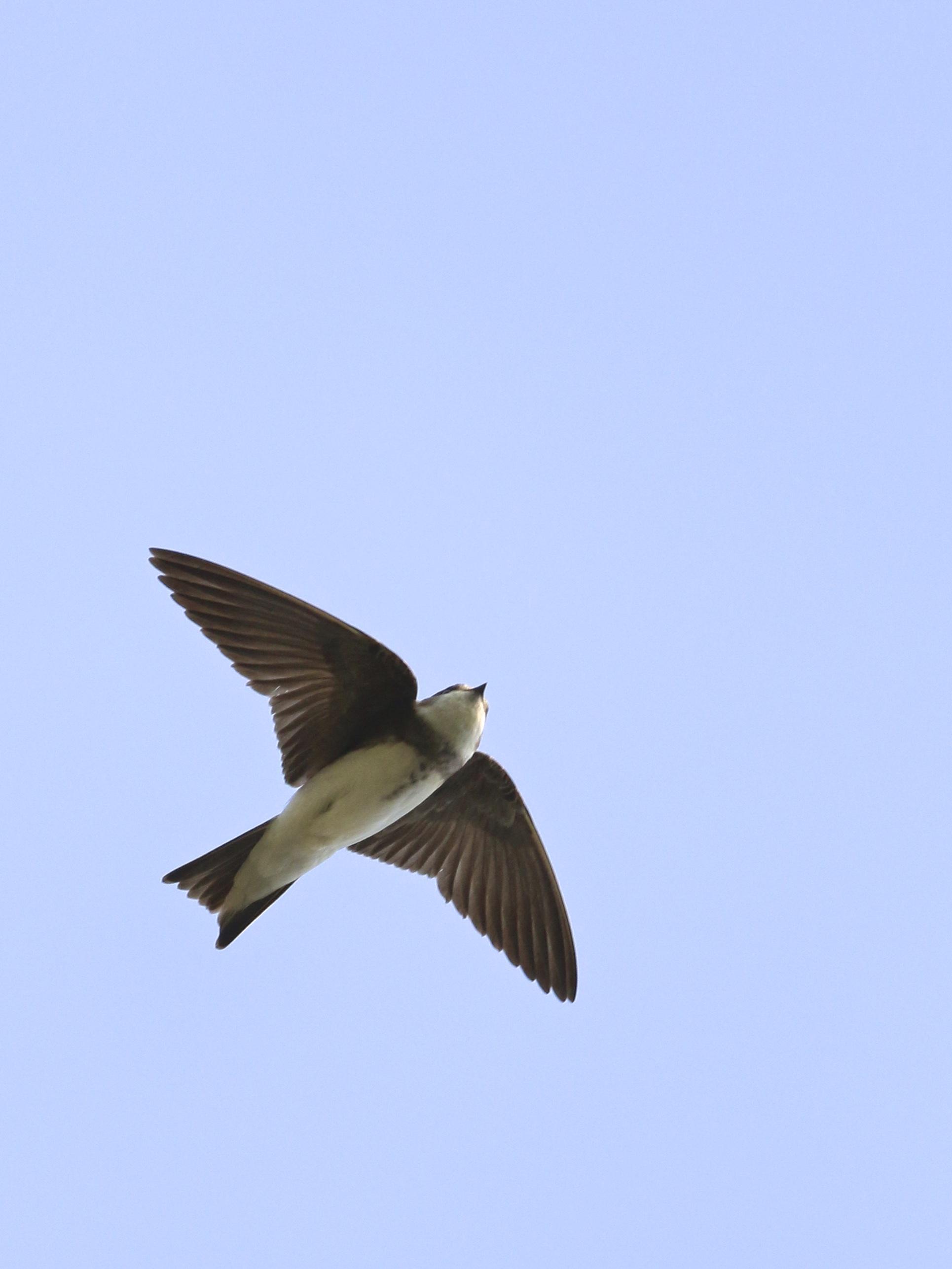 ~BASW in flight, Cedar Swamp Road 6/11/15.~