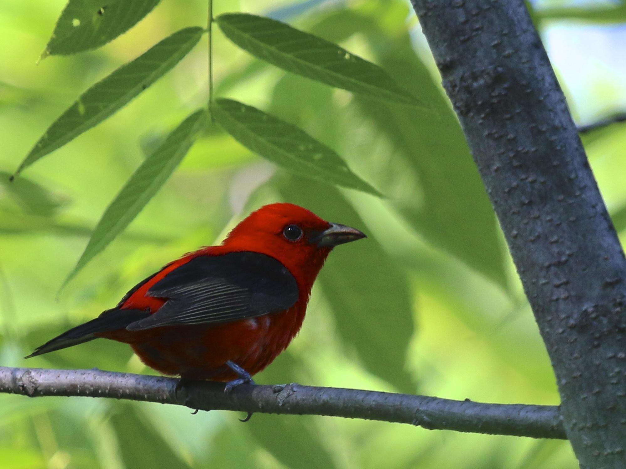Challenging chat orange birding - Chat orange ...