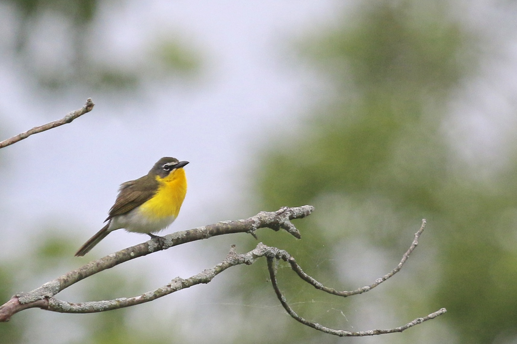 ~YELLOW-BREASTED CHAT cooperating for a photo! Hopeland Sanctuary, Staatsburg NY 6/615.~
