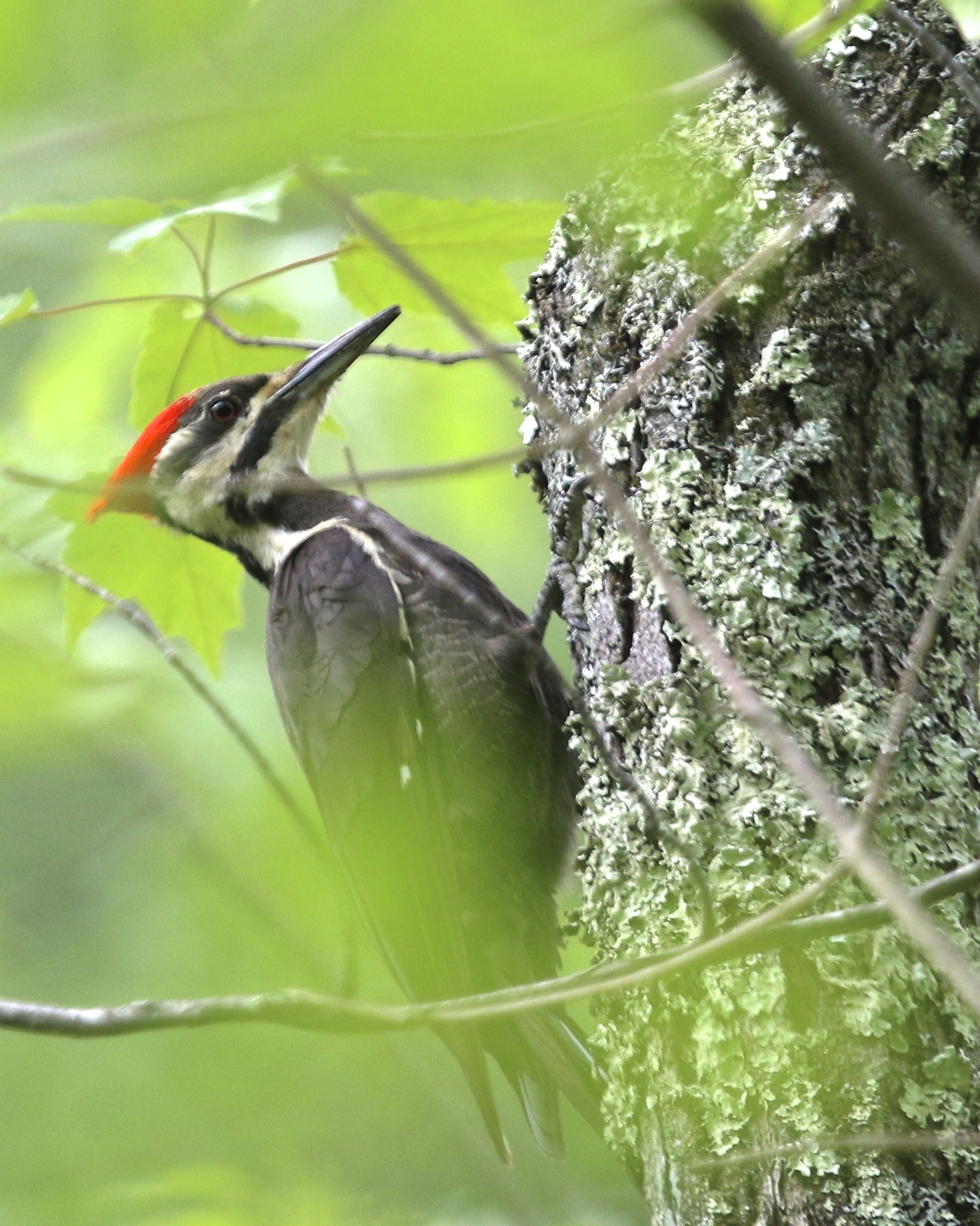 ~This Pileated Woodpecker was SO close but never got out into the open! Mills-Norrie State Park, 6/6/15.~