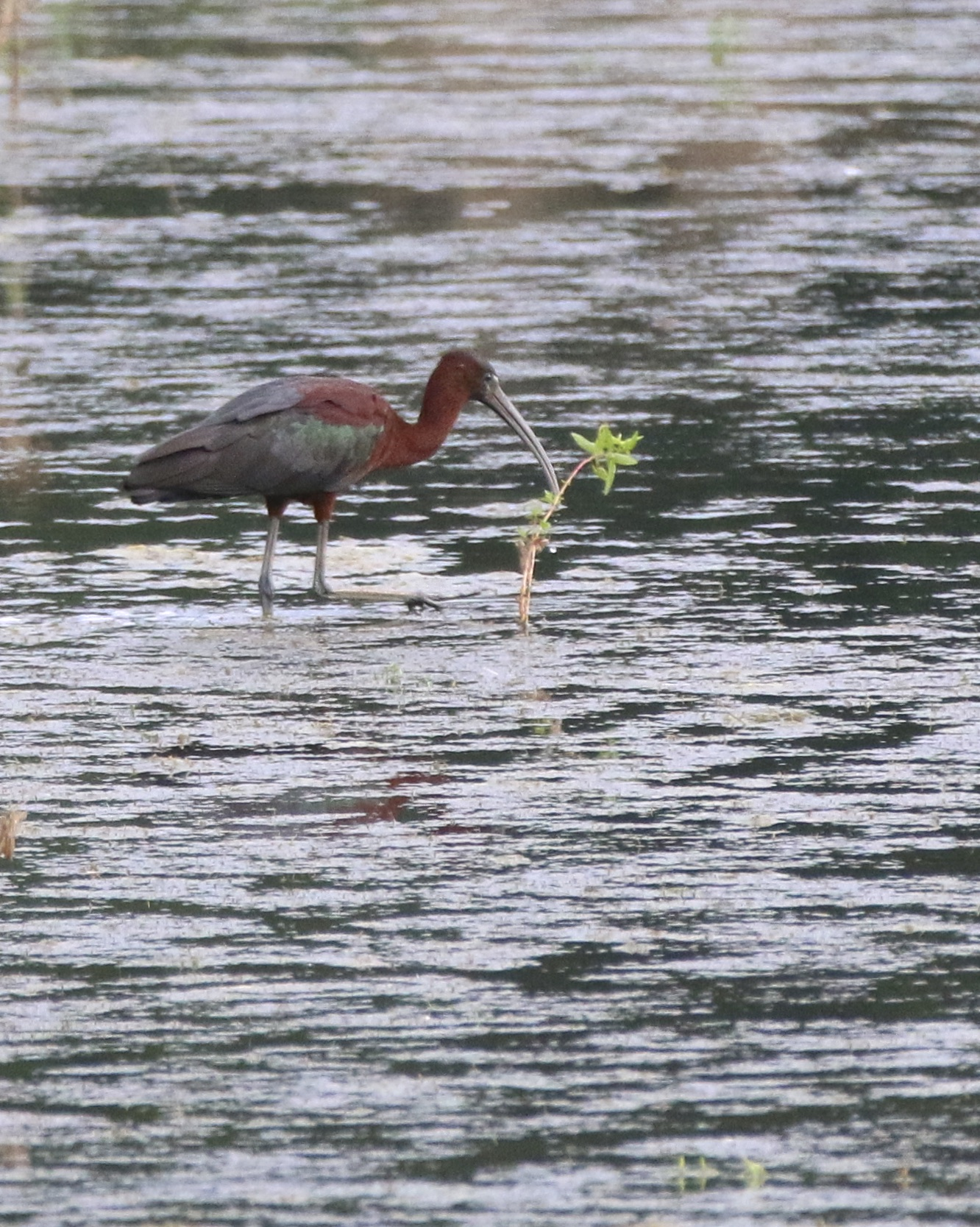 ~Glossy Ibis in the back pond of the Liberty Loop, 7/15/15. Photo by Linda Scrima.~