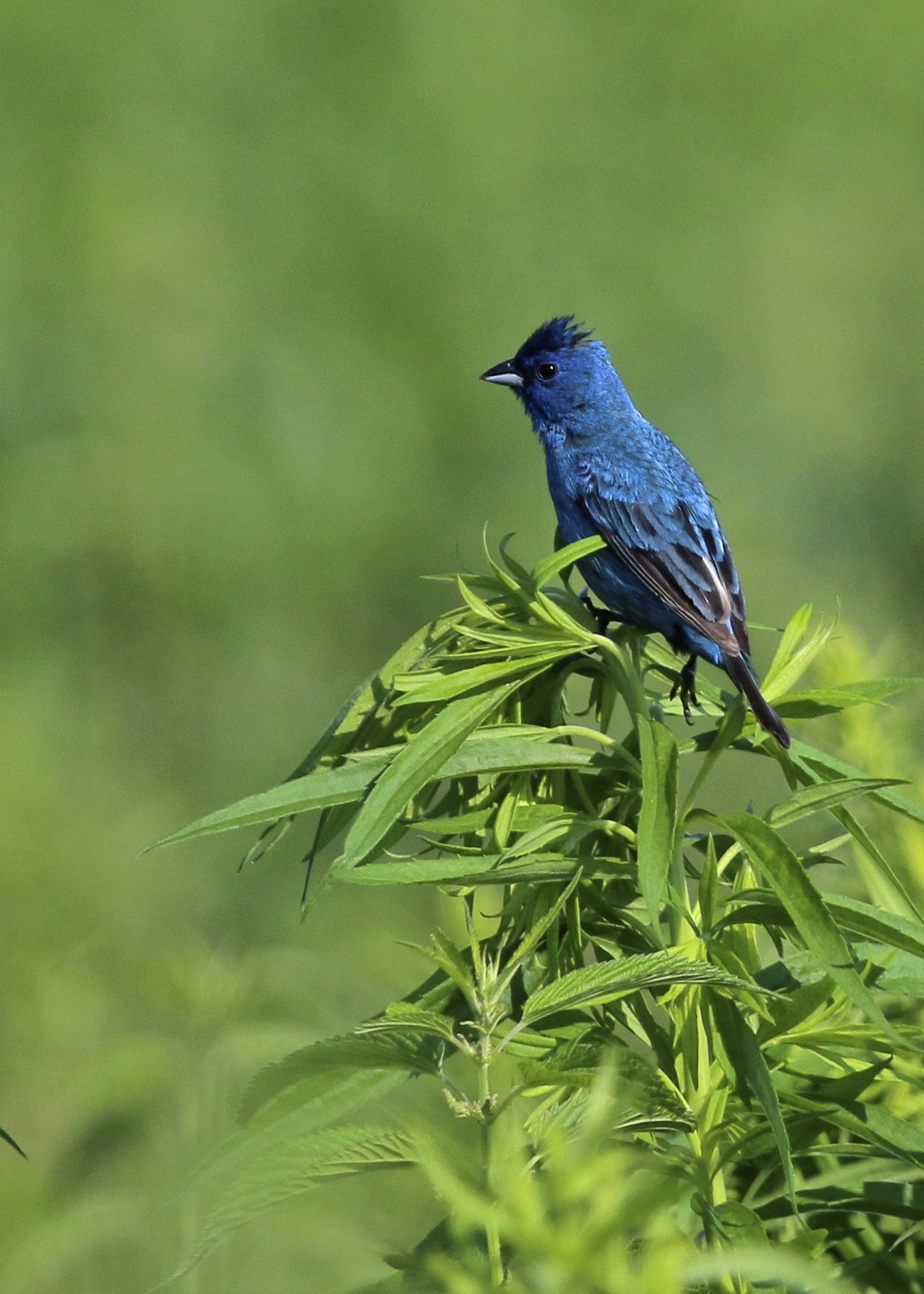 ~One of many Indigo Buntings out on Liberty Lane, Wallkill River NWR, 7/11/15.~