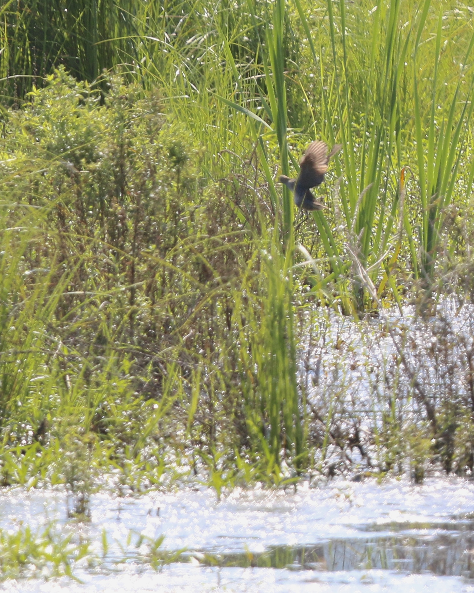 ~The adult SORA flushed when a trail walker approached us. Liberty Loop, 7/11/15.~