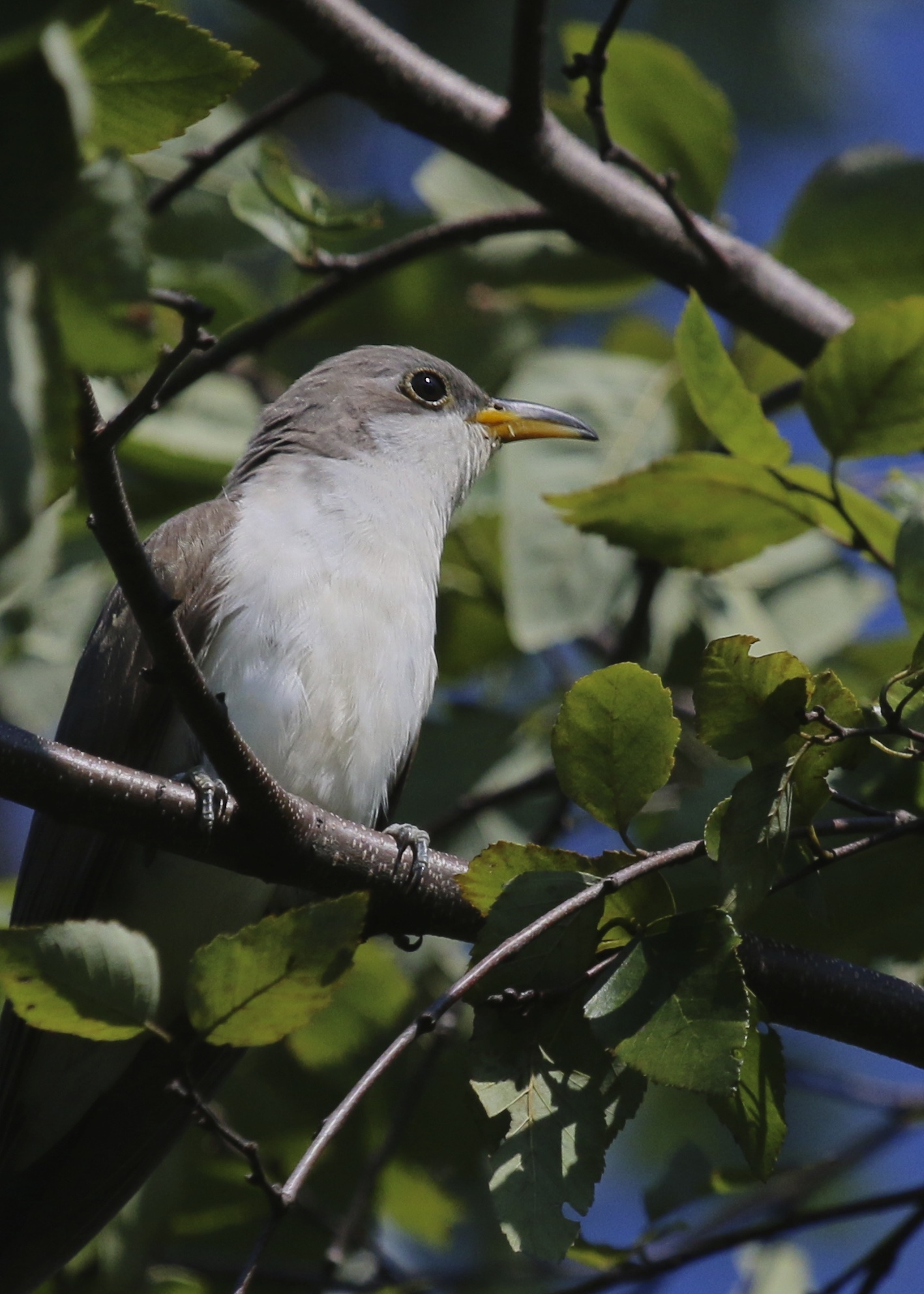 I finally got a good look at not one, but two YELLOW-BILLED CUCKOOS! They were located on the west side of the Liberty Loop, Wallkill River National Wildlife Refuge, 8/23/15.~