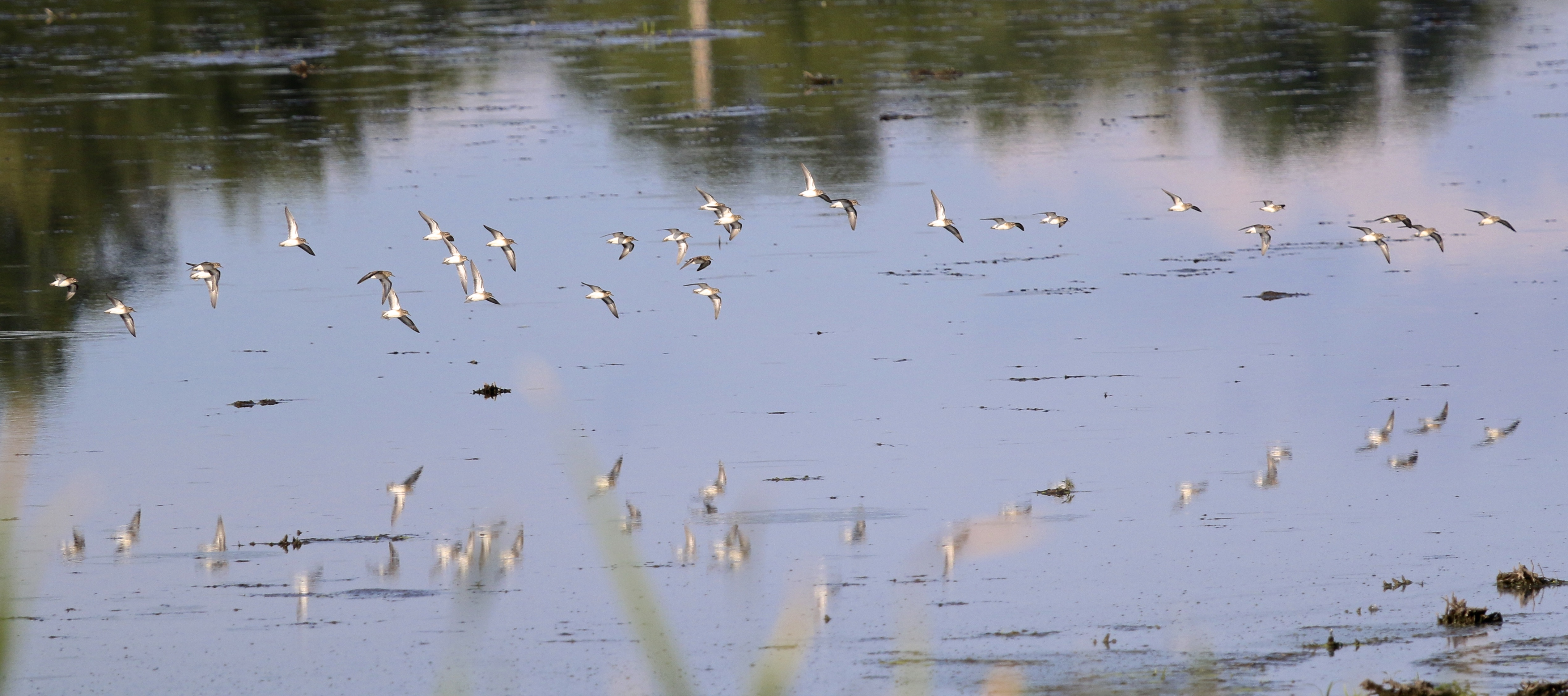~Shorebirds in flight (likely Least Sandpipers) at 6 1/2 Station Road Sanctuary, 8/23/15.~
