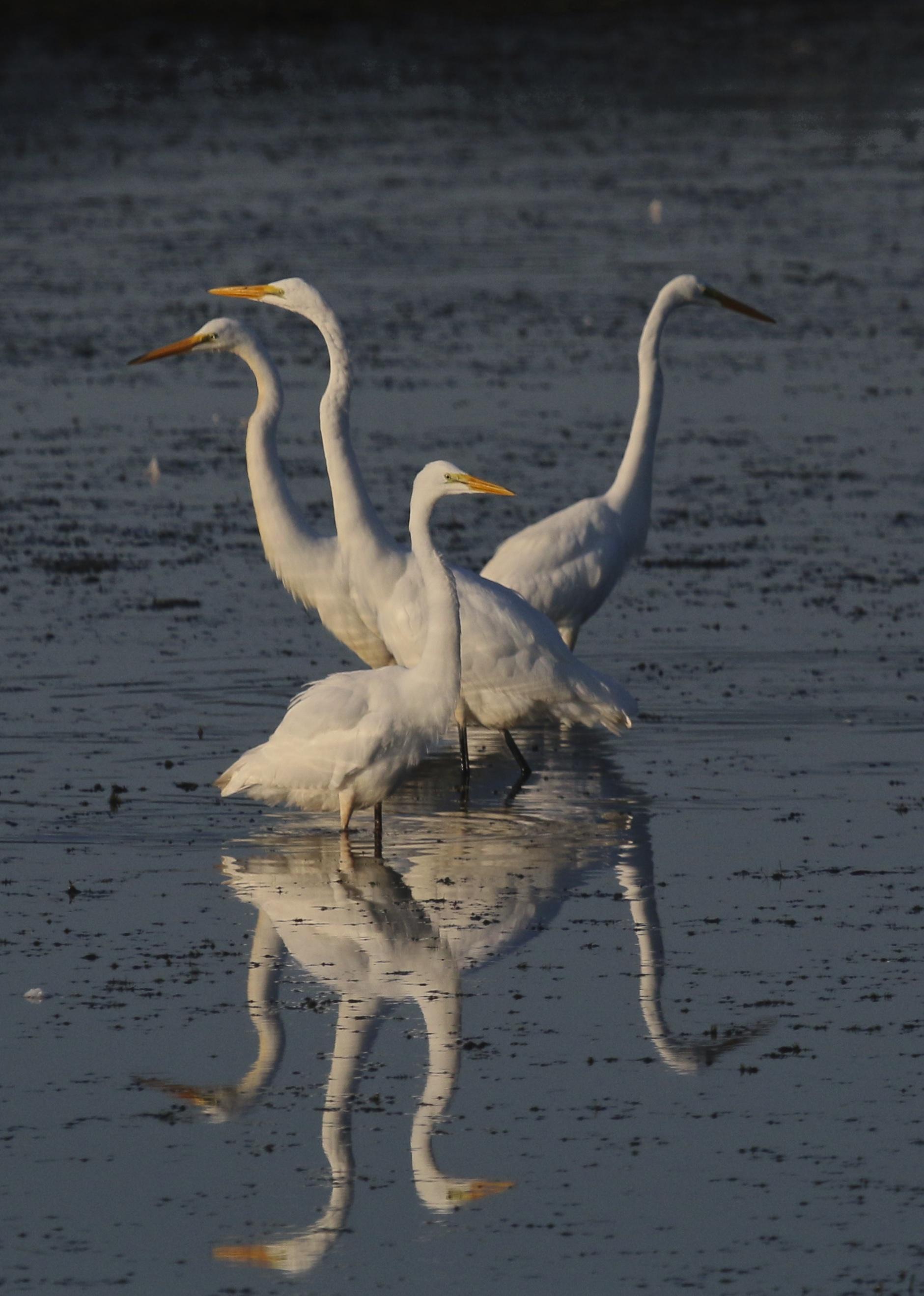 ~Great Egrets striking a pose at the Liberty Loop, 8/9/15.~