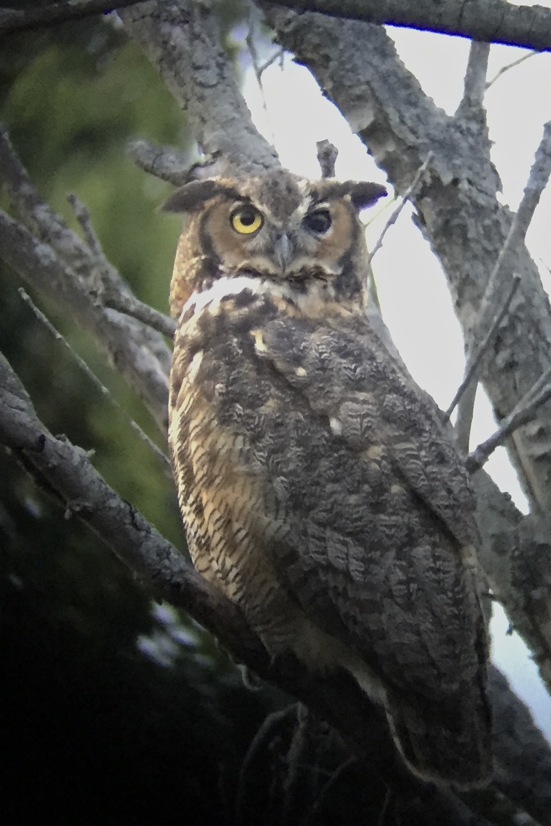~Black Dirt Great Horned Owl, 9/9/15.~