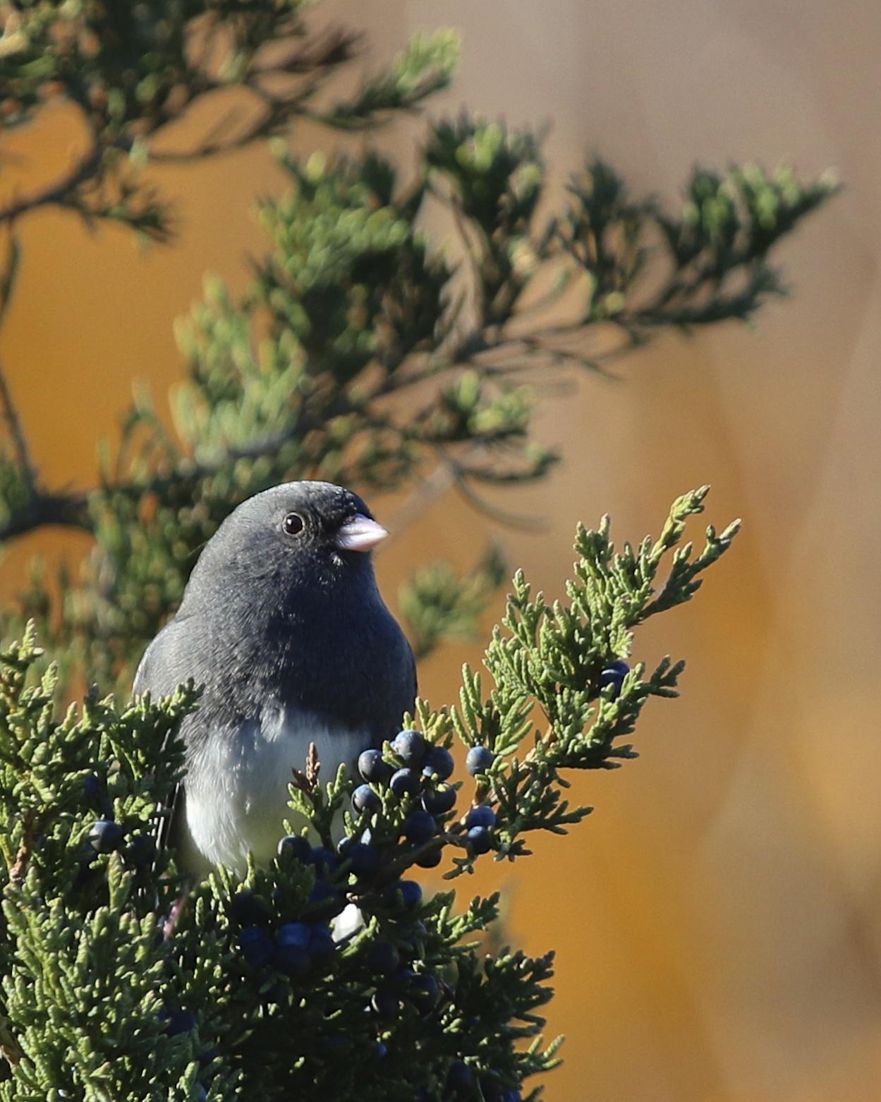 ~Dark-eyed Junco at Mt. Peter Hawkwatch, 10/31/15.~