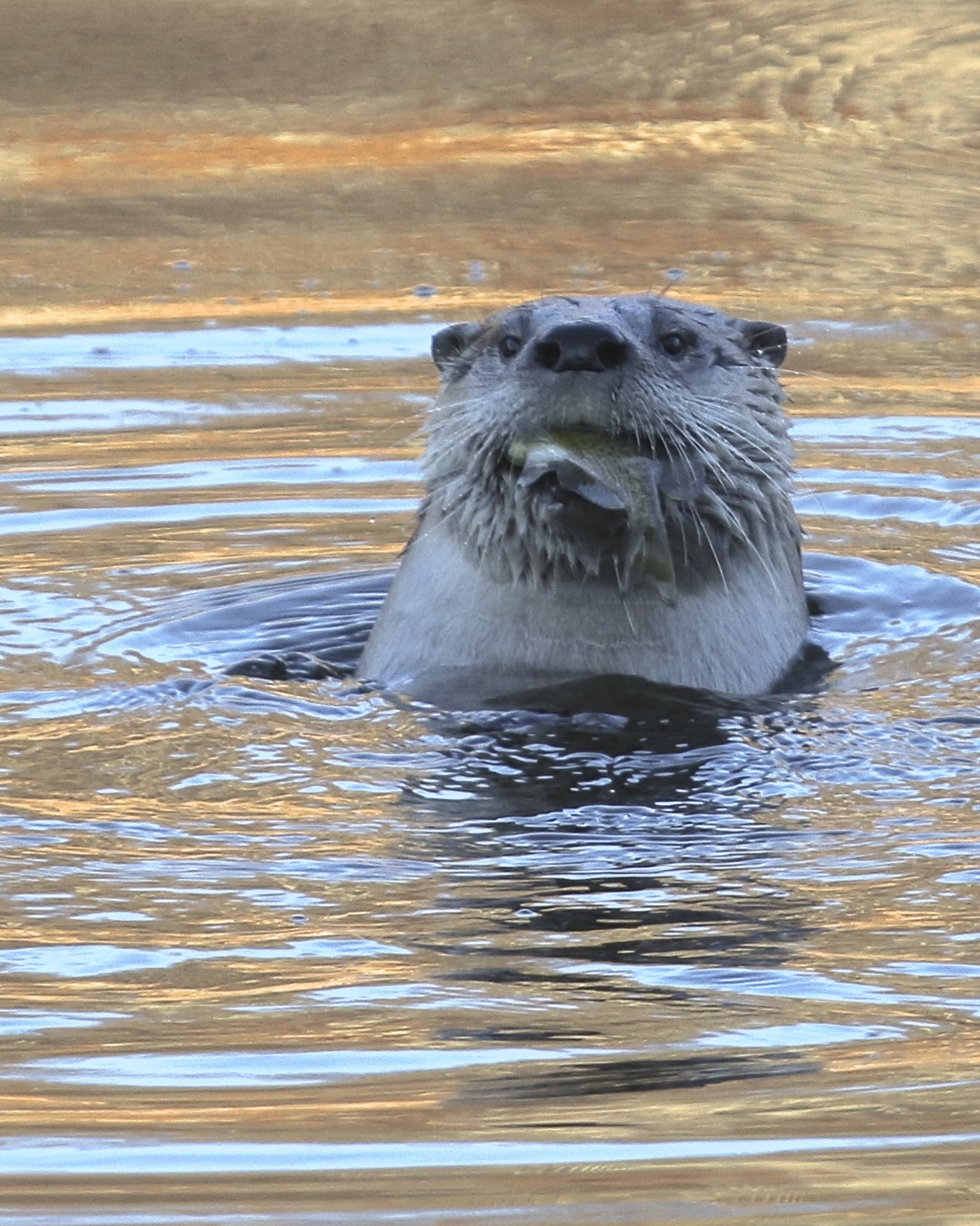 ~One of four River Otters enjoys a fish, Orange County, NY 12/6/15.~