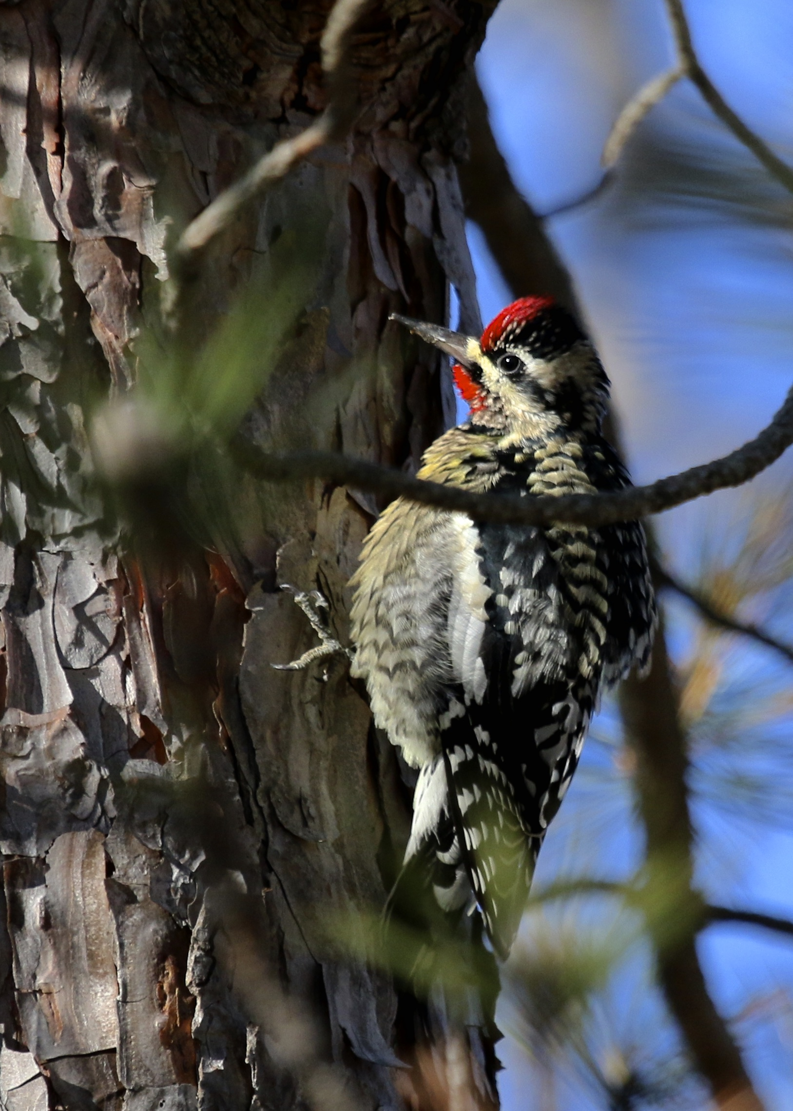 Always a favorite and usually not in such good light - Yellow-bellied Sapsucker at Wickham Woodlands Town Park, 12/19/15.~