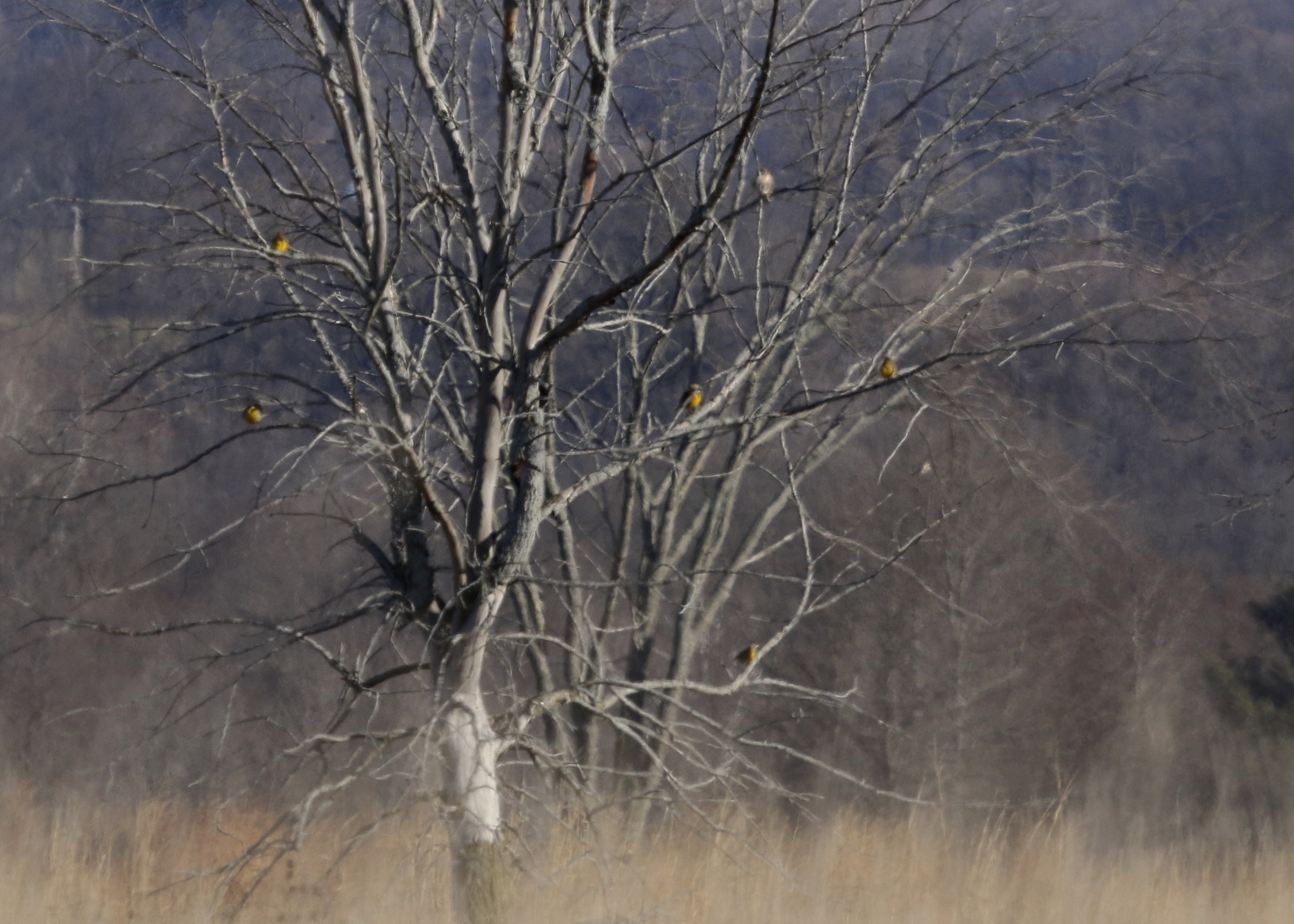 ~Five Eastern Meadowlarks perch in a tree. I believe that's a Red-tailed Hawk perched in the distance beyond the meadowlarks. Shawangunk Grasslands, NWR 12/20/15.~