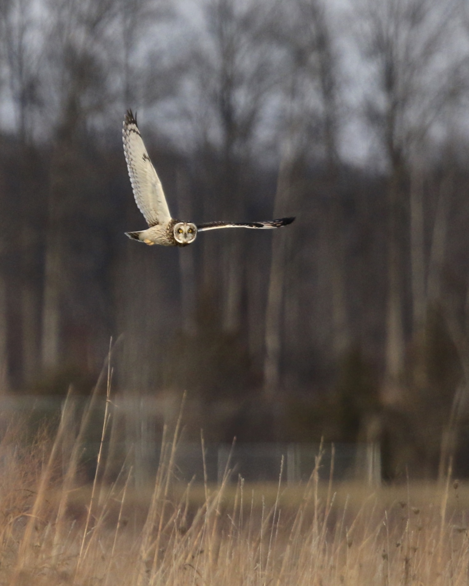 ~Short-eared Owl hunting over the Shawangunk Grasslands, 12/20/15.~