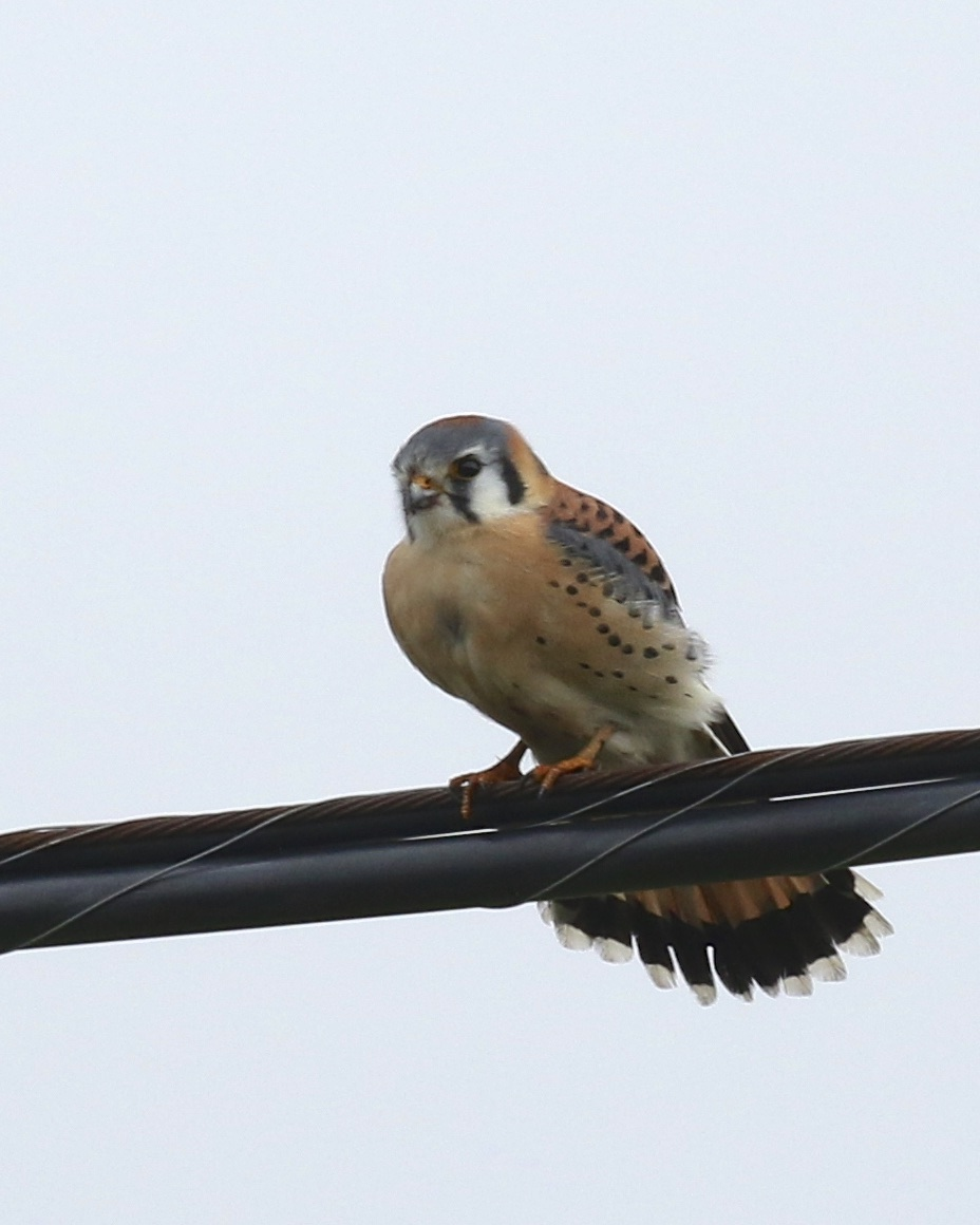 An American Kestrel fans its tail in an effort to keep its balance on a windy day. Pine Island, 12/27/15.~