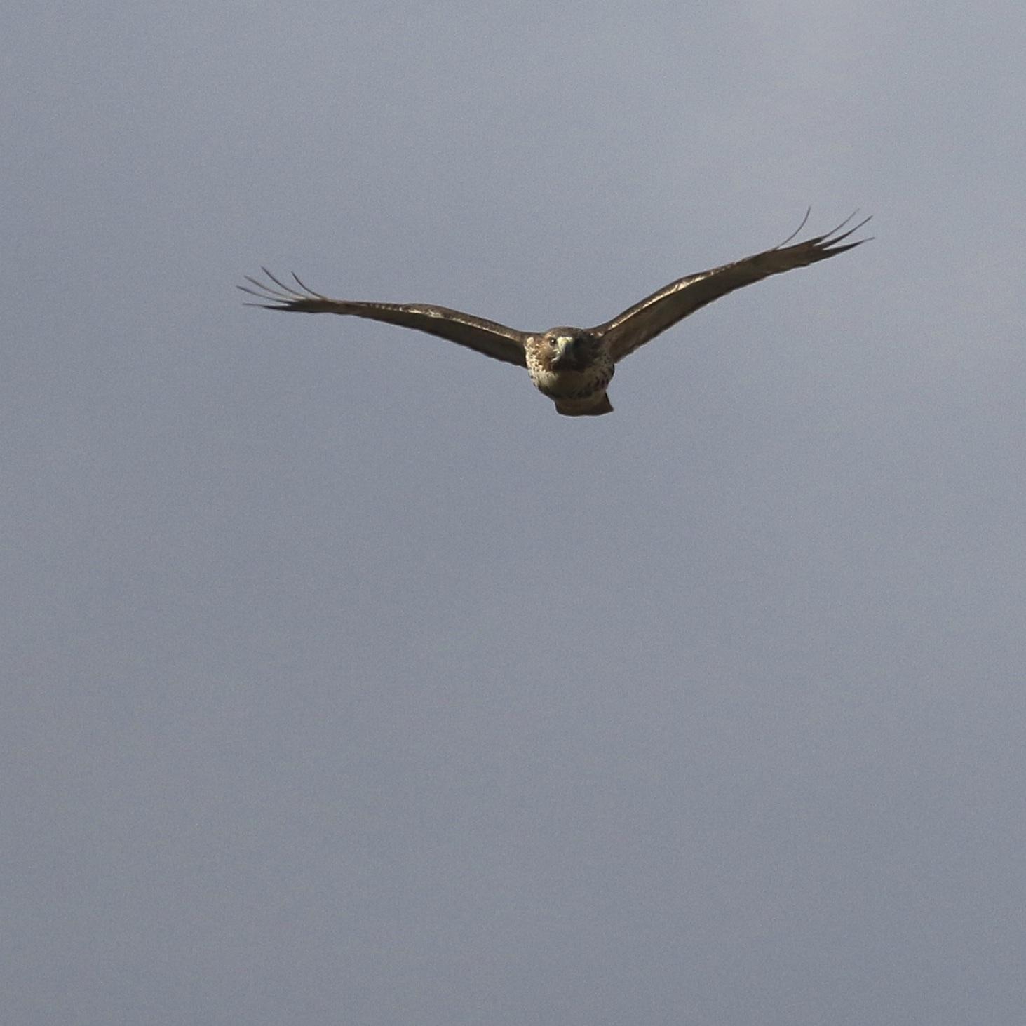 ~Red-tailed Hawk at Wallkill River NWR, 12/28/15.~