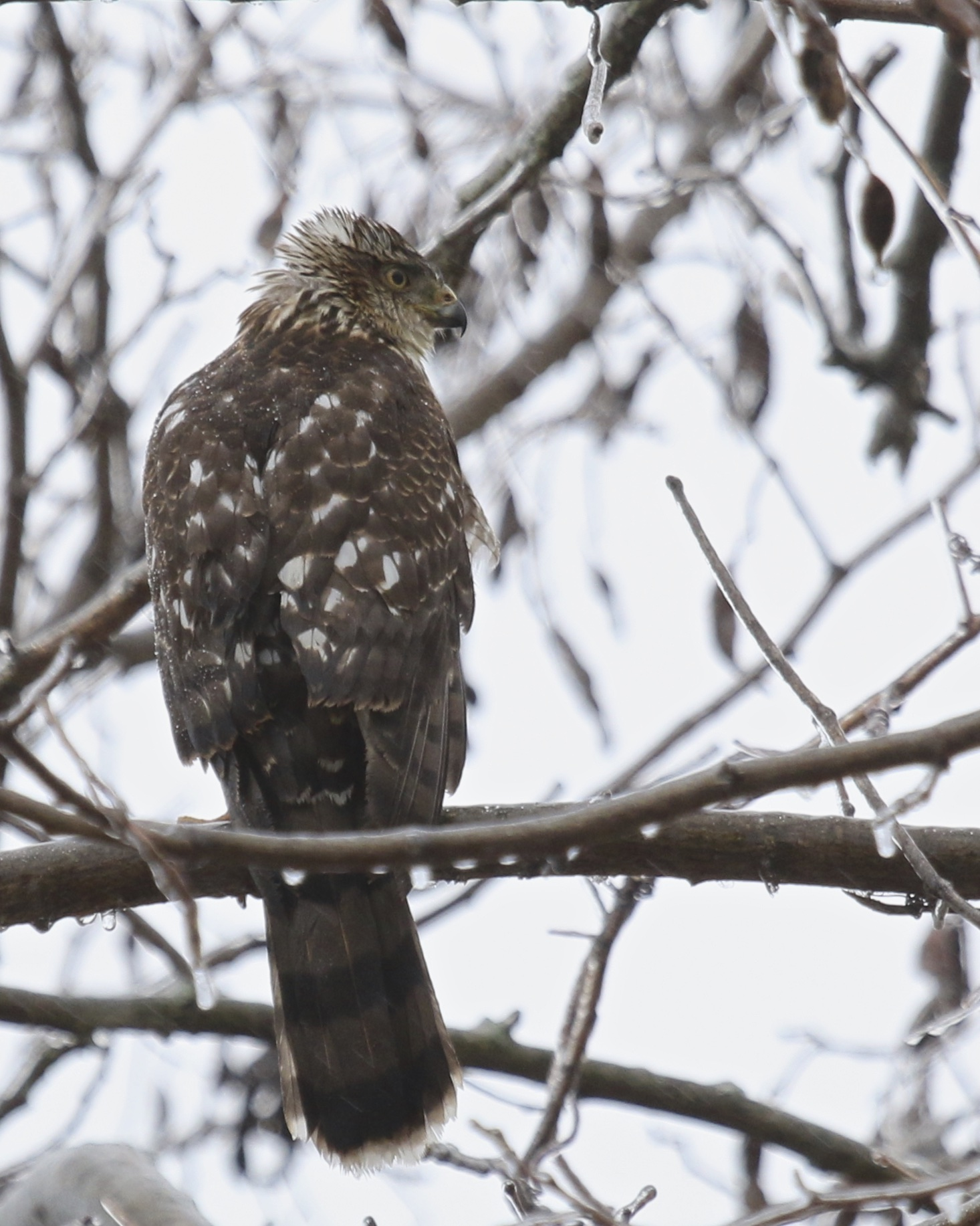 ~Coopers Hawk, Black Dirt Region, 12/29/15.~