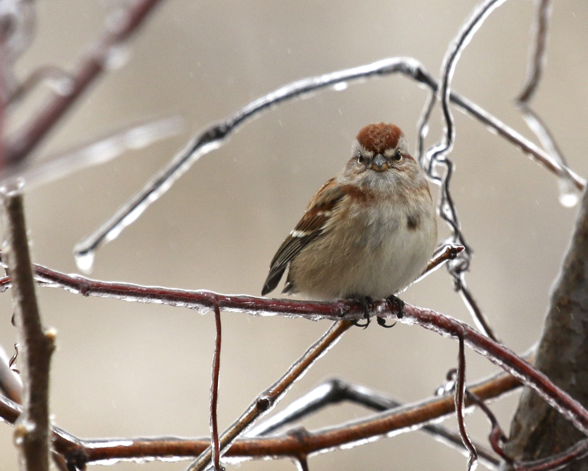 ~My latest favorite - American Tree Sparrow framed in icy branches. Black Dirt Region, 12/29/15.~