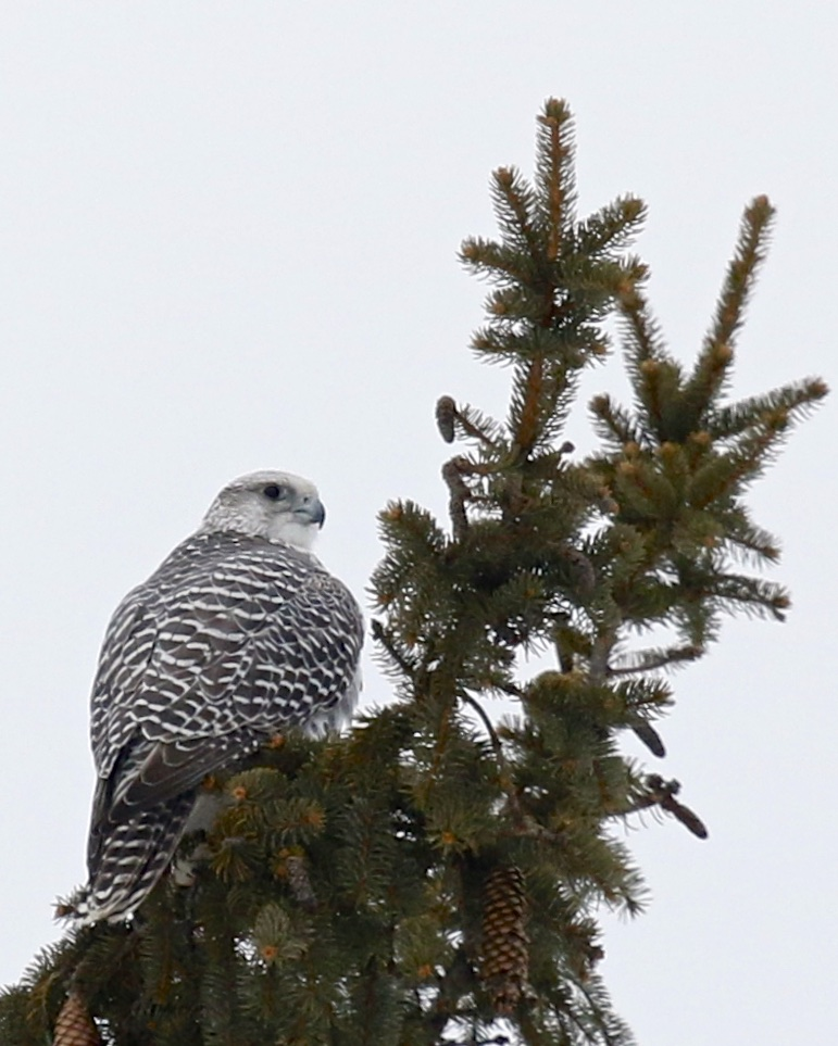 ~Gyrfalcon perched in a spruce tree off of Hoagerburgh Road in Ulster County, 2/7/15.~