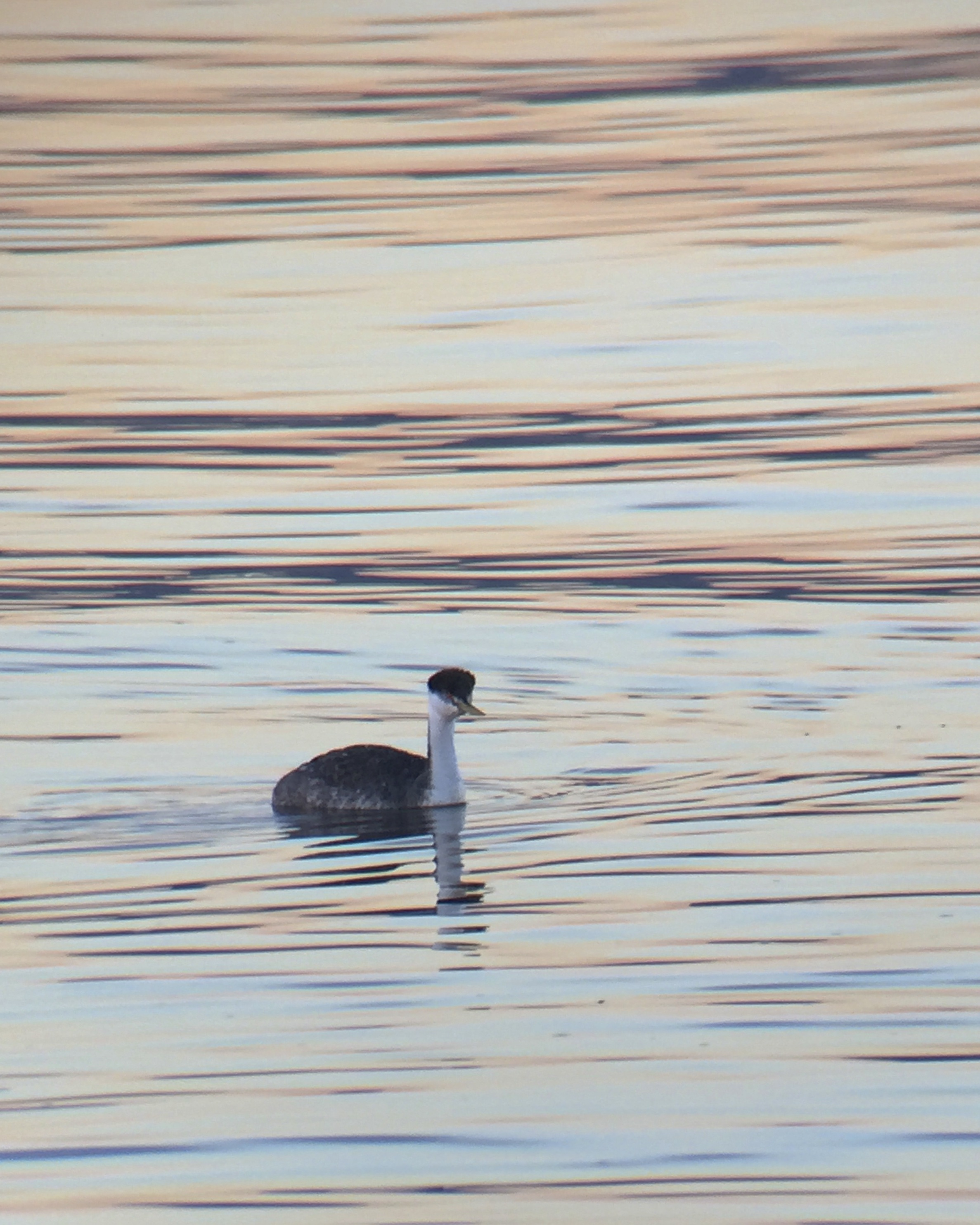 ~iPhone digiscope shot of the WESTERN GREBE at Piermont Pier, 1/7/16.~