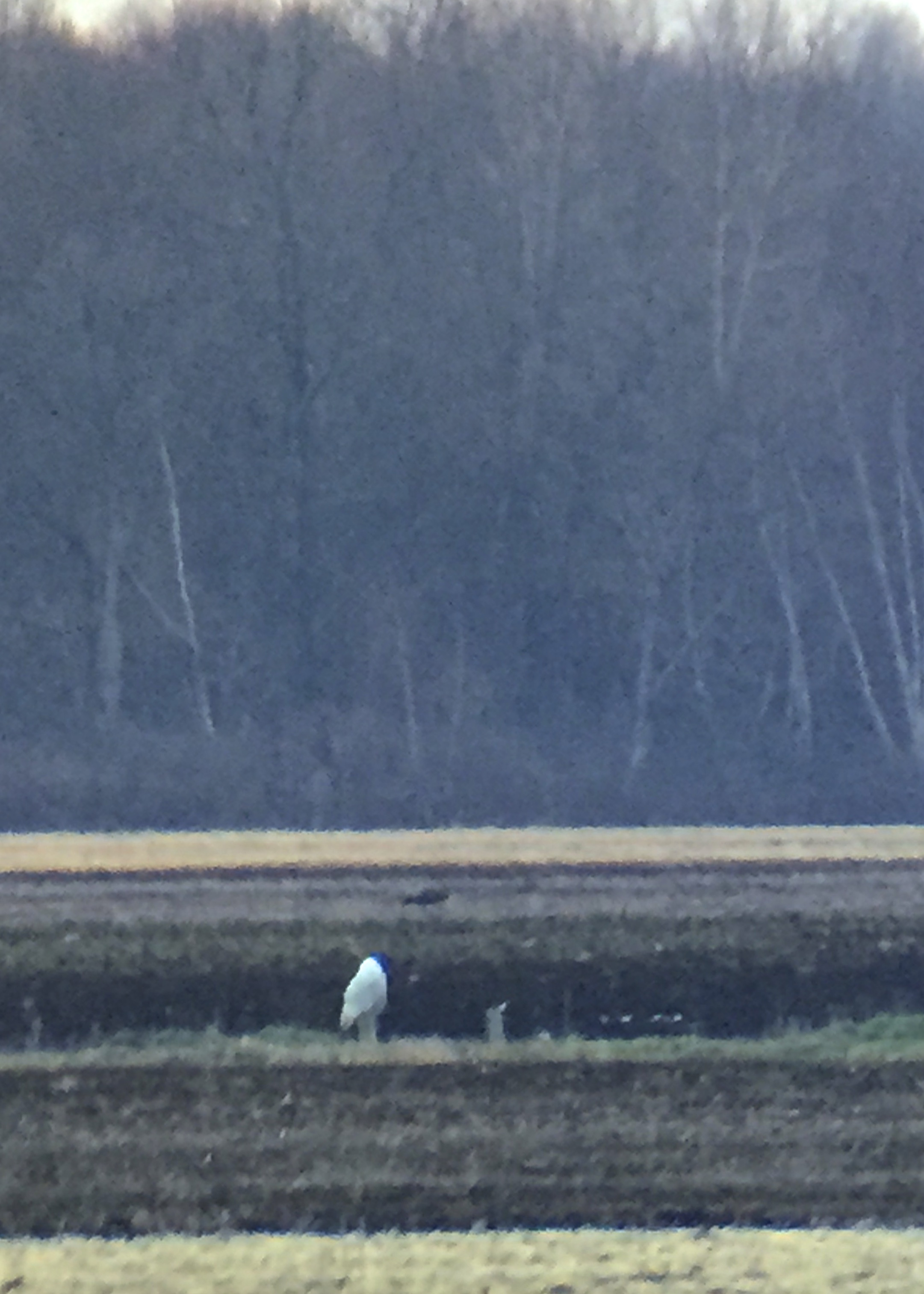 ~iPhone shot through the spotting scope - Snowy Owl in the Black Dirt, 1/14/16.~