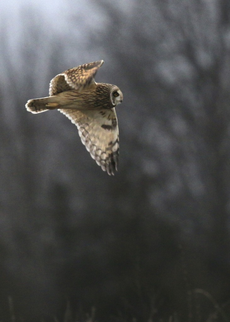 ~Short-eared Owl at Shawangunk Grasslands National Wildlife Refuge, 1/2/16.~
