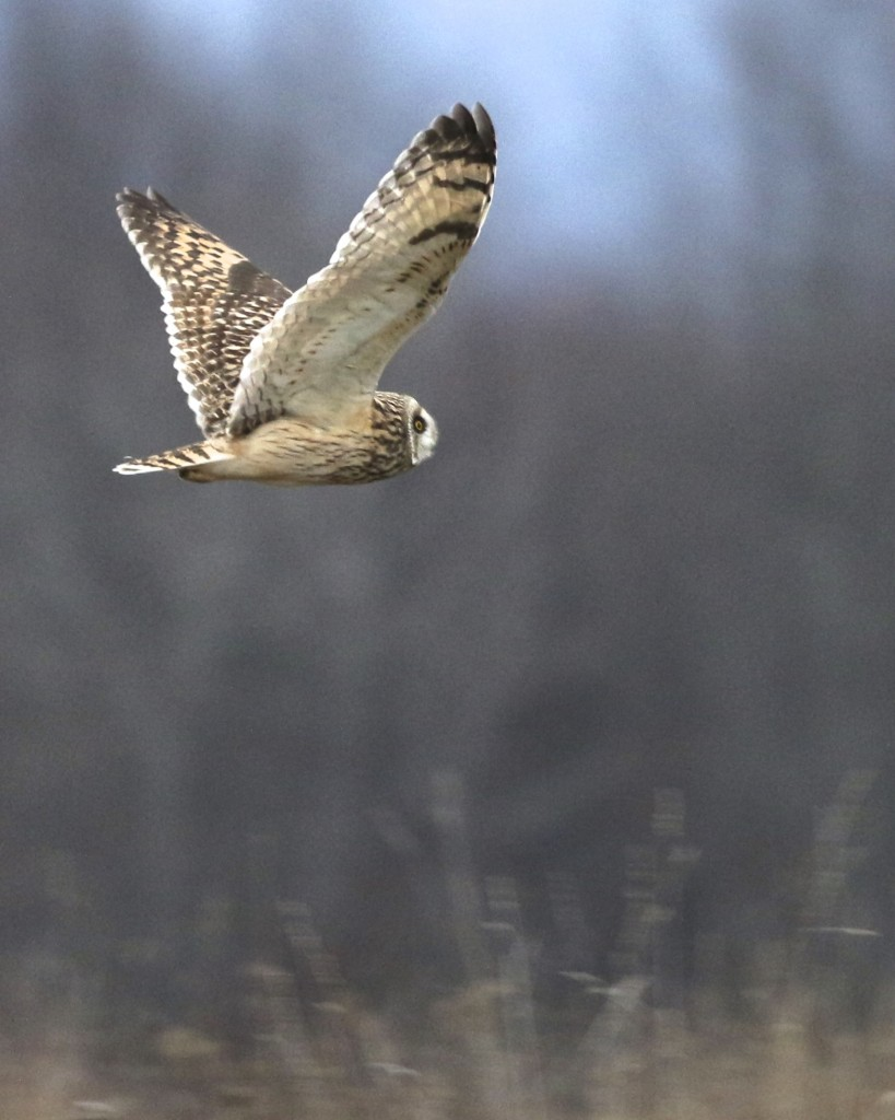 ~Short-eared Owl at the Shawangunk Grasslands NWR, 1/2/16.~