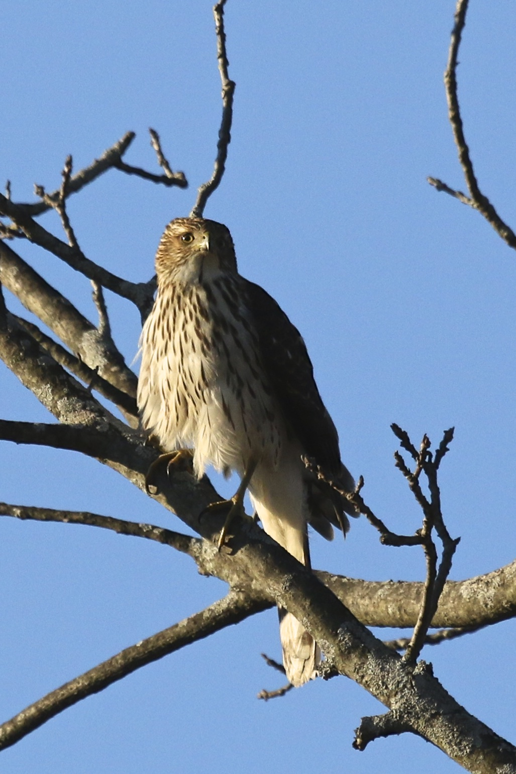 ~I'm not sure why (maybe because the bird seemed small), but I thought this bird was a Sharp-shinned Hawk when I saw it in the field. Tonight, looking at photos I am thinking it is a Cooper's Hawk, possibly a juvenile male? Black Dirt Region, 1/3/16.~