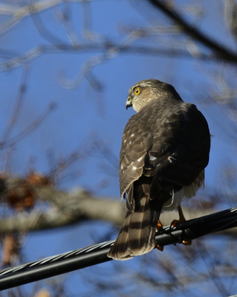 ~I came home to find this Sharp-shinned Hawk in my driveway, not a bad way to end a birding outing. Goshen, NY 1/3/16.~