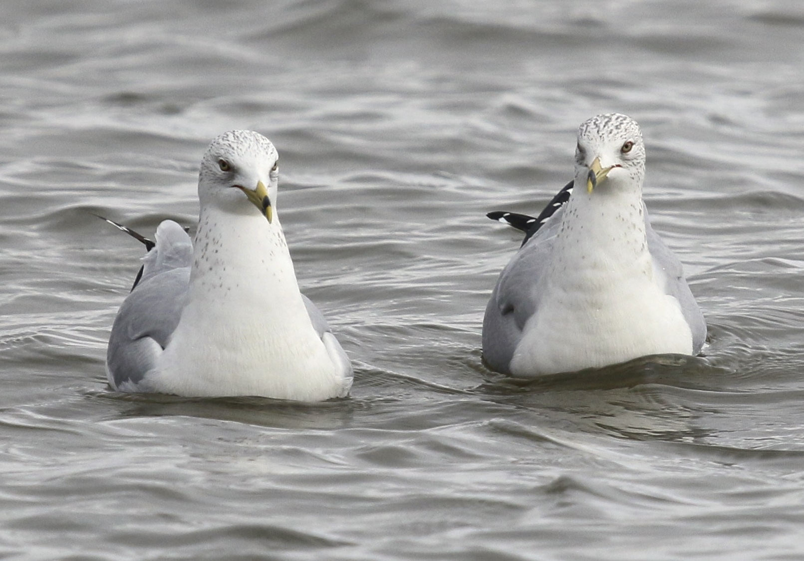 ~Don't mess with these two, they look like they are in a mood. Ring-billed Gulls at Piermont Pier 1/9/16.~