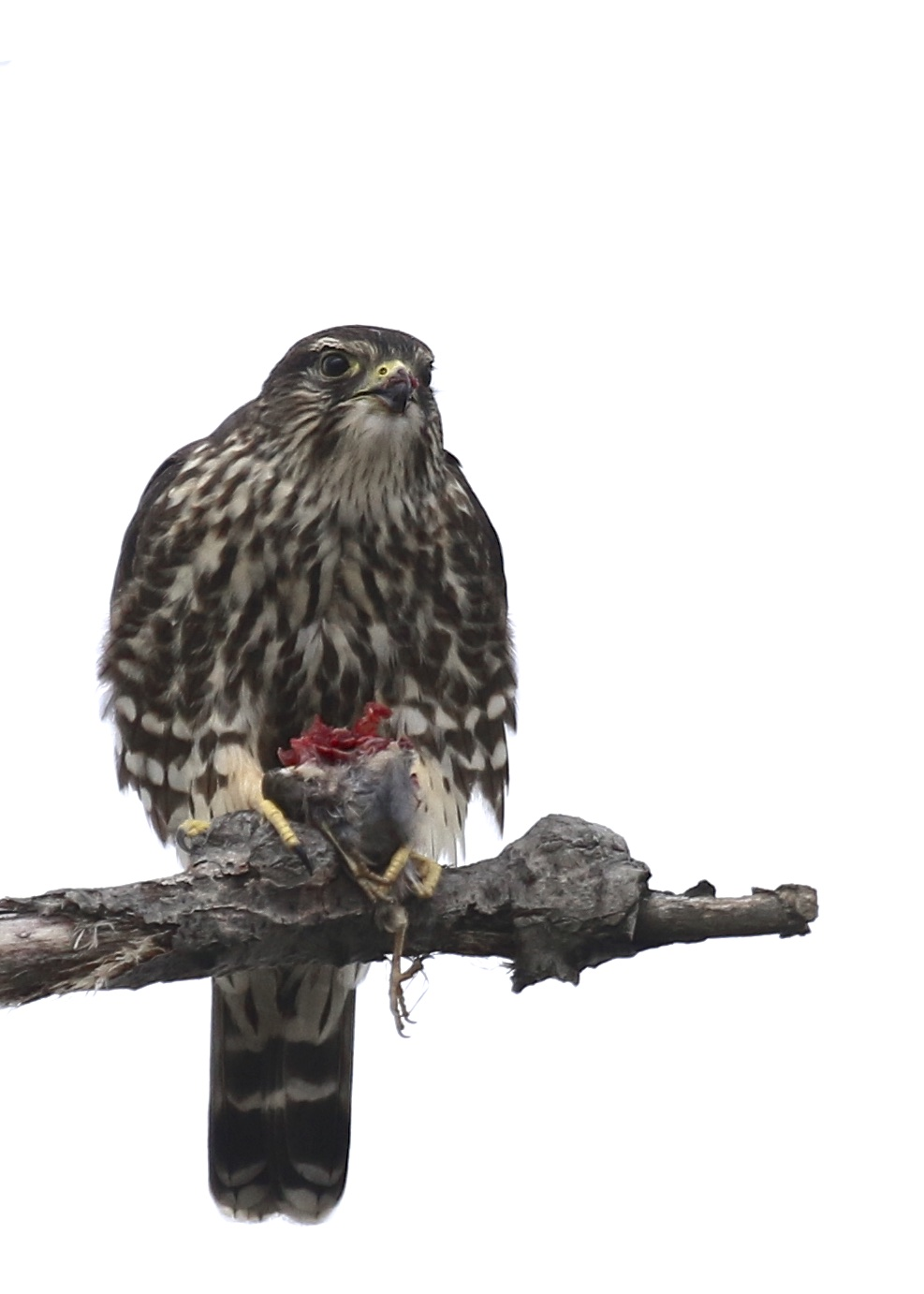 ~The highlight of the day for me - Merlin with prey at Piermont Pier, 1/9/16.~