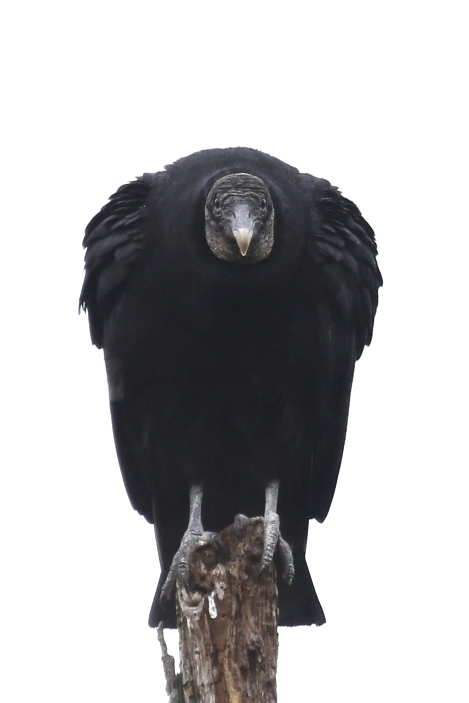 ~This is not a pretty bird, but it is pretty cool. Black Vulture in Blooming Grove, NY 1/10/16.~
