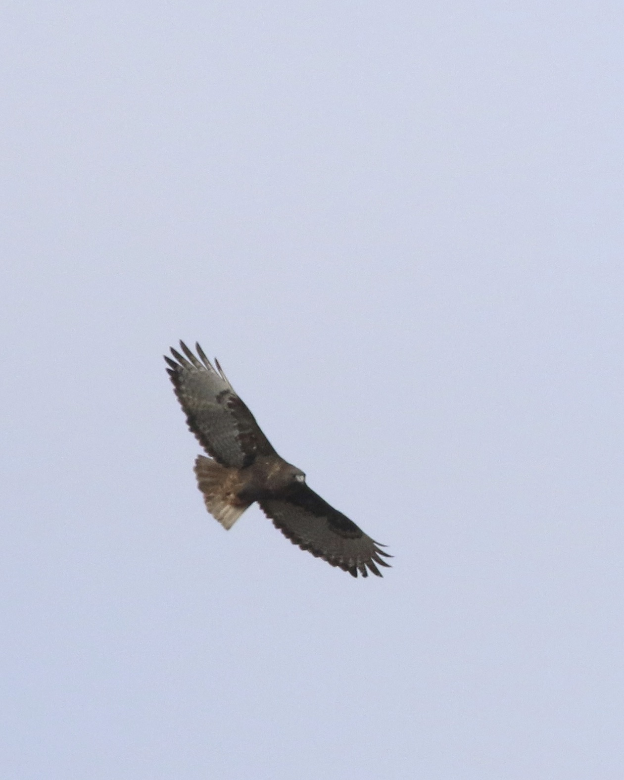 ~Beautiful bird - dark-morph Western Red-tailed Hawk in the Black Dirt, 1/8/16. Photo by Linda Scrima.