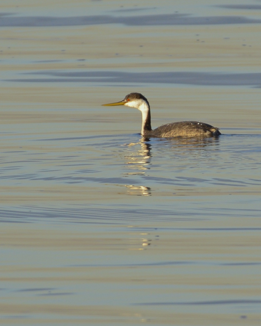 ~WESTERN GREBE at Piermont Pier, 1/716. Photo by Maria Loukeris.~