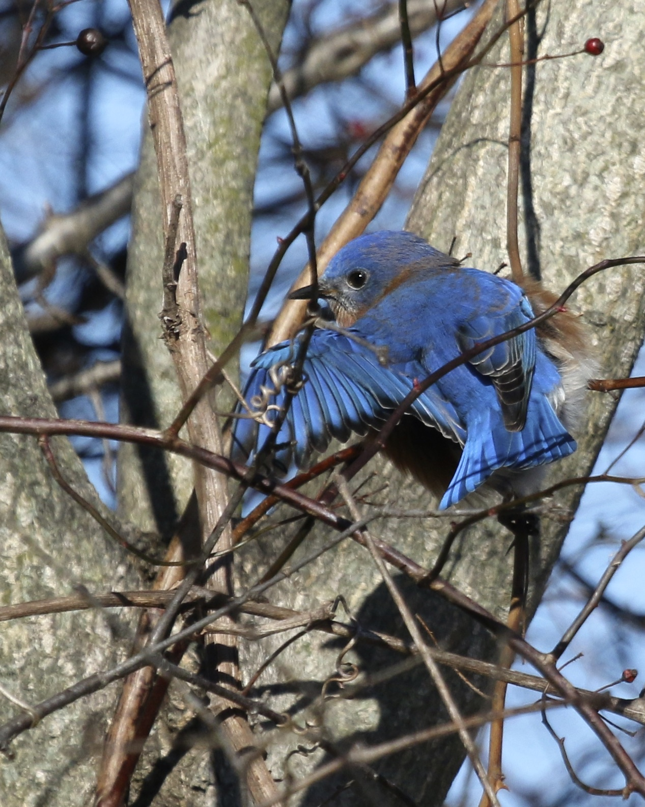 A male Eastern Bluebird shows a little wing, 6 1/2 Station Road Sanctuary, 2/14/16.~