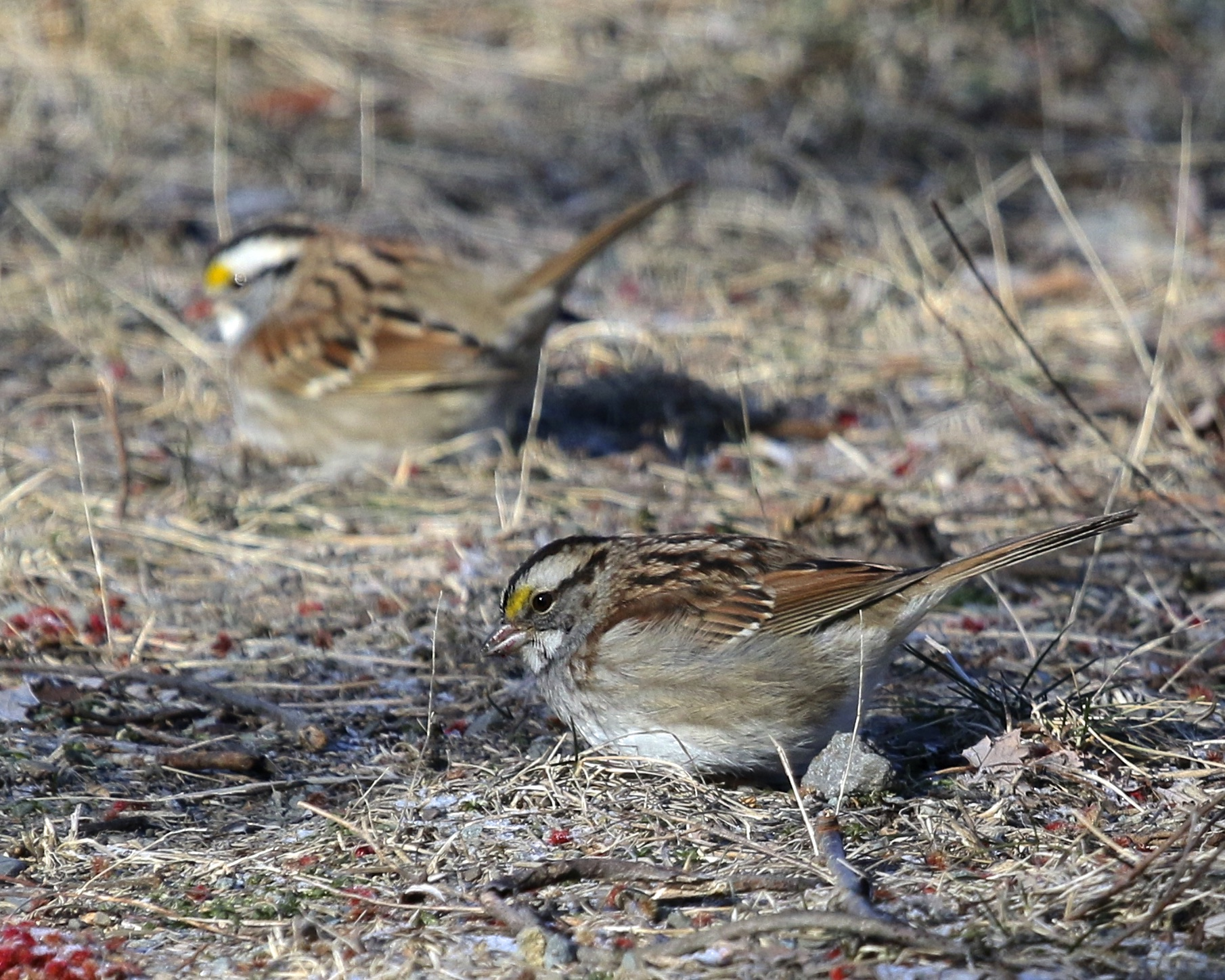 A pair of White-throated Sparrows forage on the trail in front of me at 6 1/2 Station Road Sanctuary, 2/14/16.~