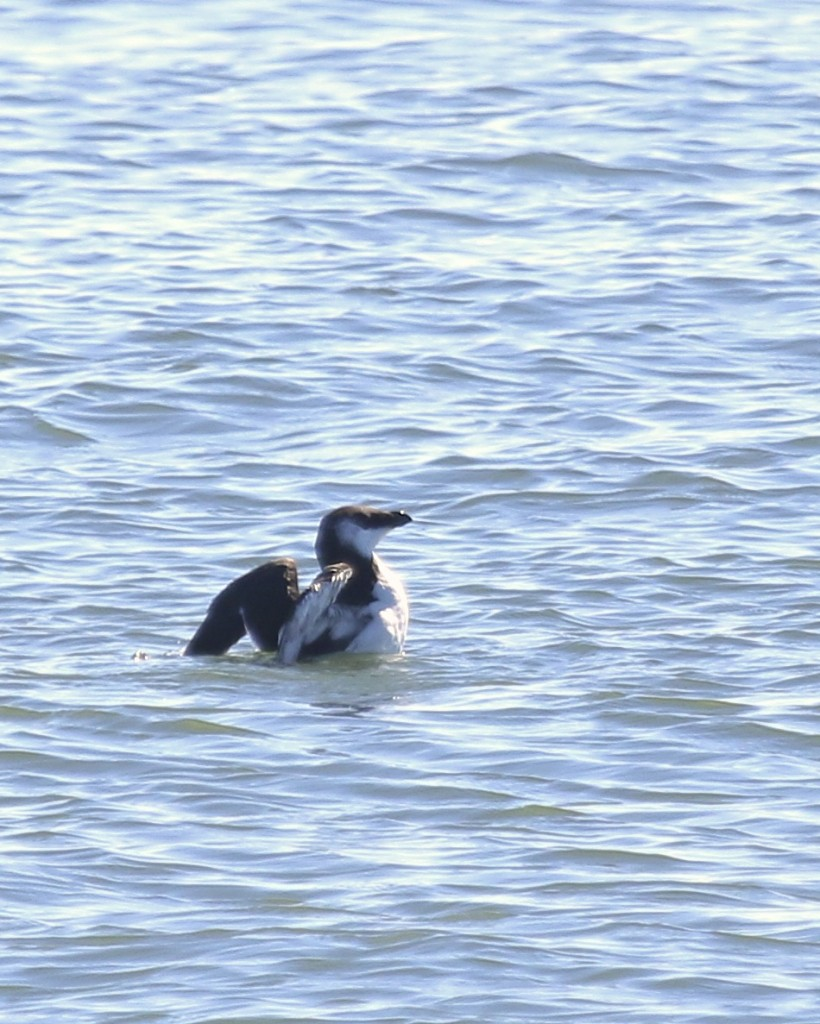 ~Target bird located! RAZORBILL at Manasquan Inlet, 2/27/16.~