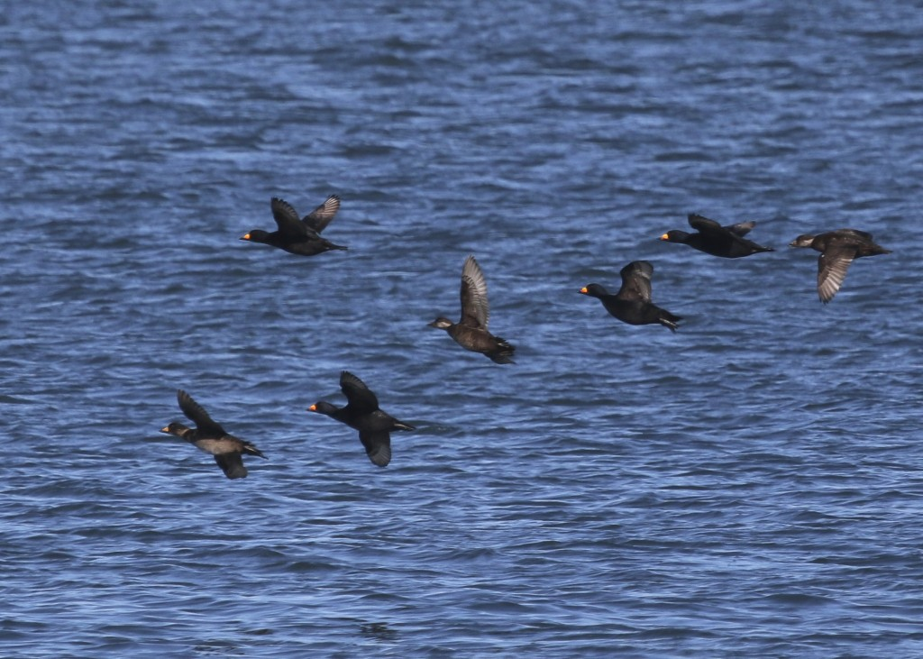 ~Black Scoters in flight over the water, Shark River Inlet, 2/27/16.~
