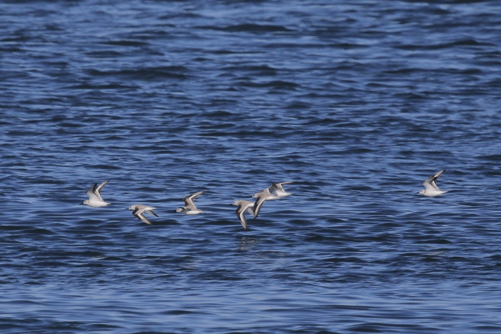 Sanderlings? in flight at Shark River Inlet, 2/27/16. Any thoughts on this ID would be appreciated.~