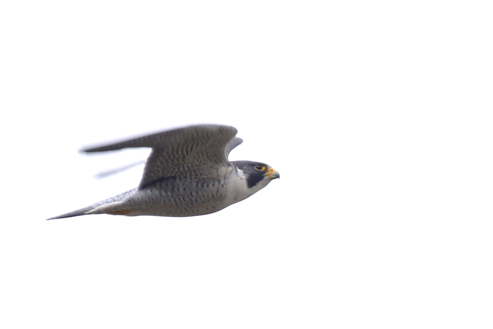~A male Peregrine Falcon shoots by at a rapid pace, Orange County NY, 3/13/16.~