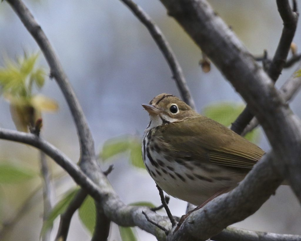 ~Ovenbird at Pochuck Mountain SF, 4/30/16.~