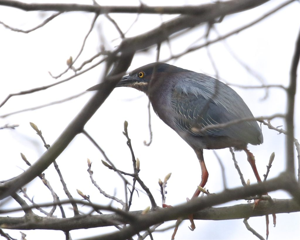 My FOY Green Heron, which is always exciting to me. Love this bird. 6 1/2 Station Road Sanctuary, 5/30/16.~
