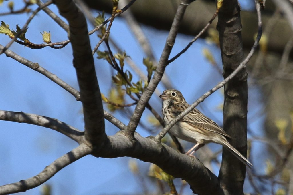 ~Vesper Sparrow at Winding Waters Trail, Wallkill River NWR, 4/15/16.~