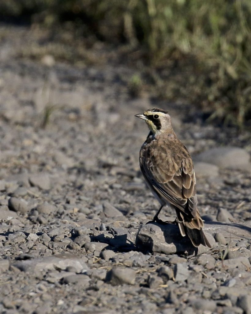 ~It was good to see some Horned Larks this weekend. Black Dirt 8/28/16.~